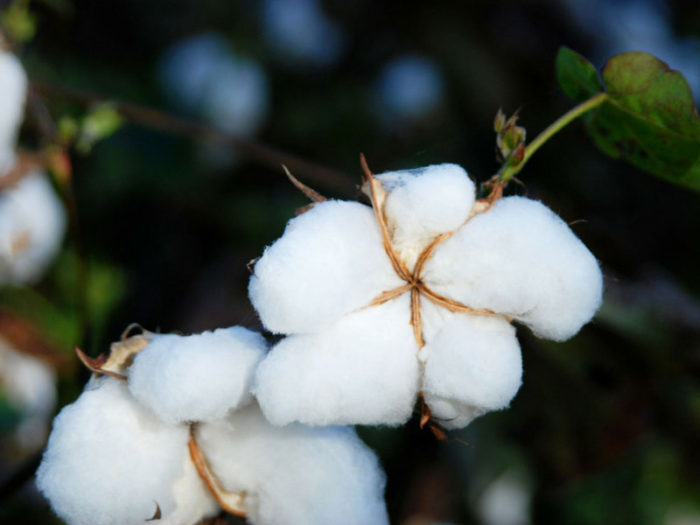 image of cotton used in Harbor Springs Company Mattresses